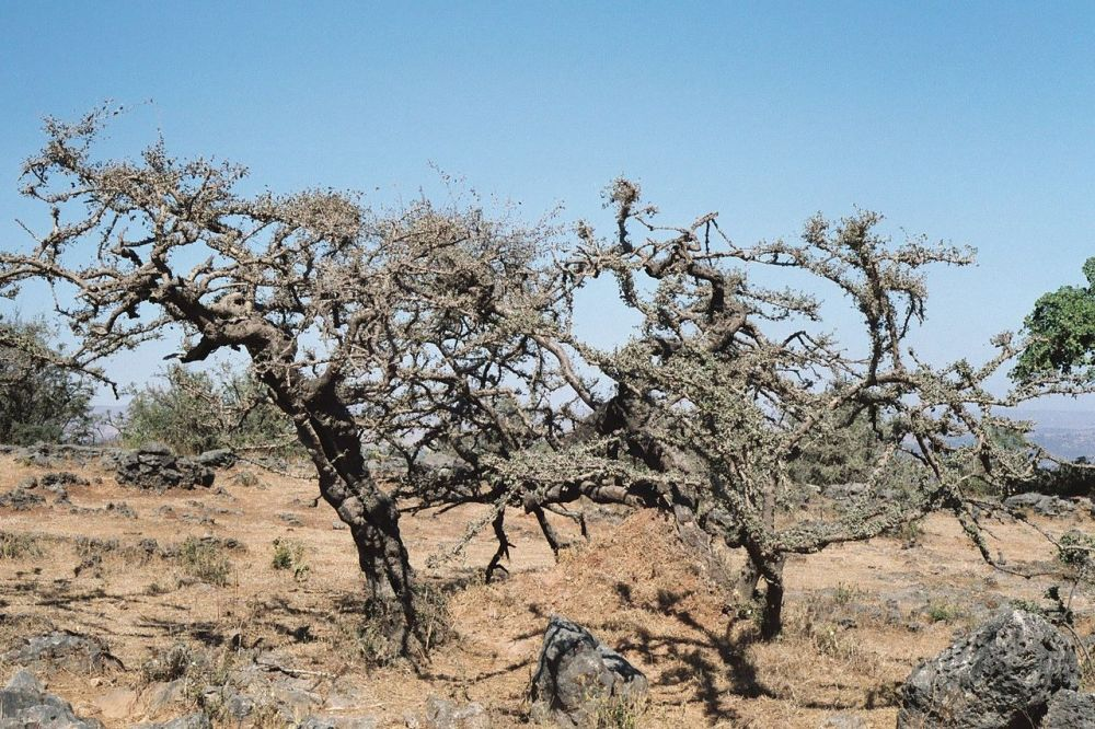 Frankincense trees, Oman
