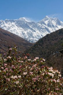 Rhododendron, with Everest in background