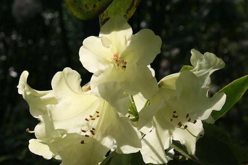 Rhododendron wardii, by Jean-Pol Grandmont