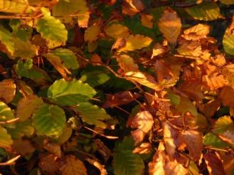 Beech trees, Blackridge 3