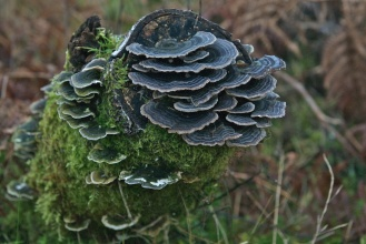 Bracket fungus, Turkeytail 5