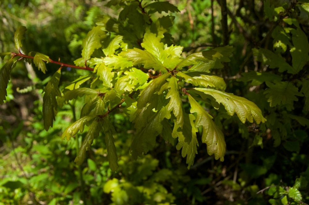 oak-leaves-taynish-2