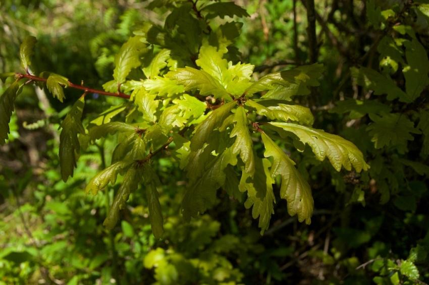 oak-leaves-taynish-2
