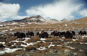 yaks-in-tibet-jp-davidson